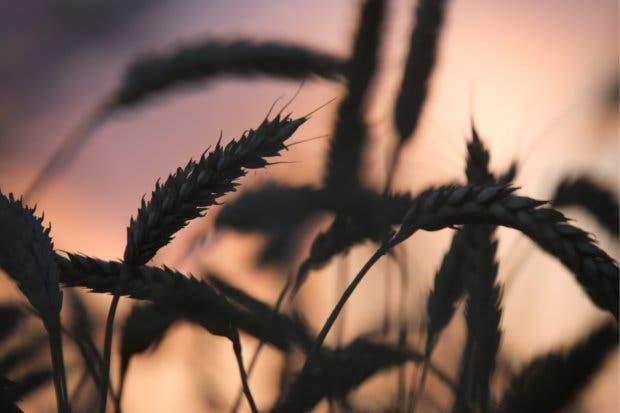 Rusia exporta más trigo que cualquier otro país en 25 años