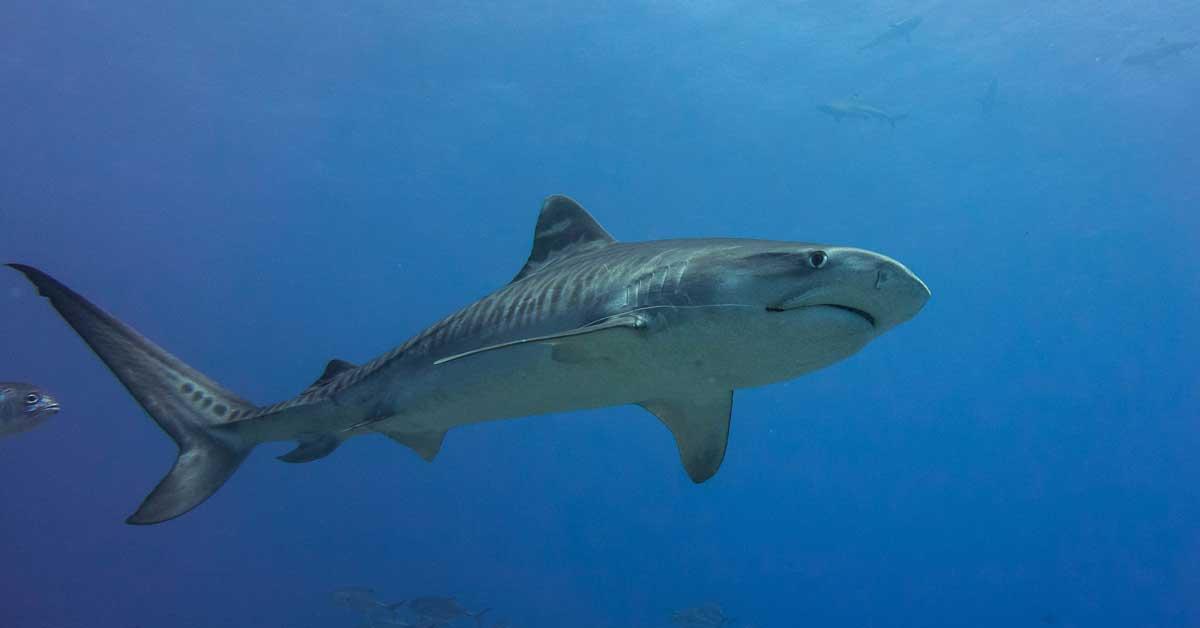 UCR estudiará población de tiburones tigre en Isla del Coco