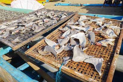 Organización pide al Presidente prohibir permanentemente exportación de tiburón martillo