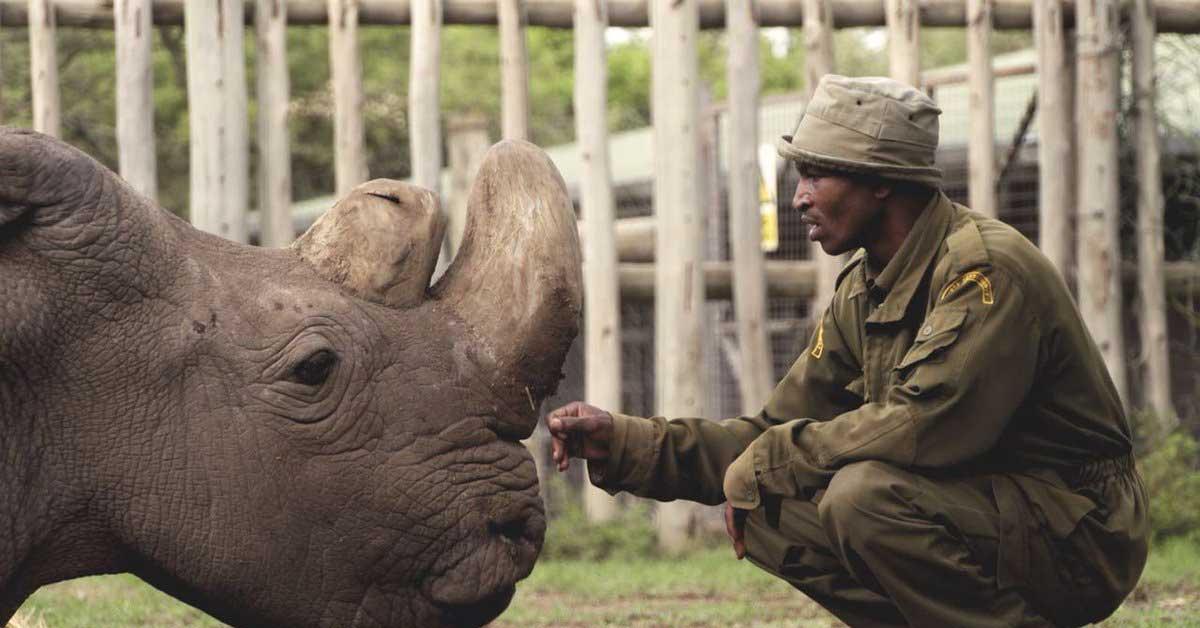 Muere el último rinoceronte macho blanco del norte
