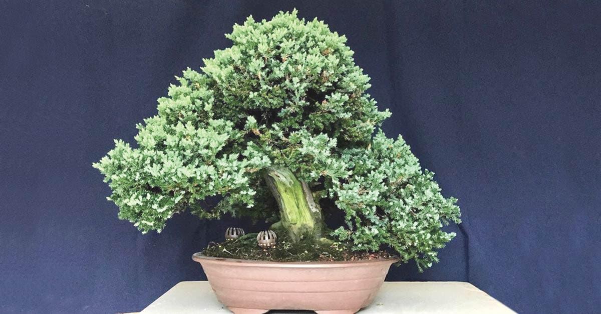 Más de 100 bonsáis se apreciarán en exposición