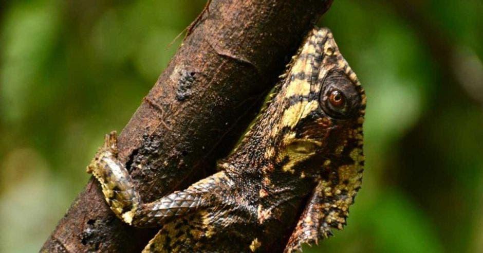 Imagen del reptil perrozompopo