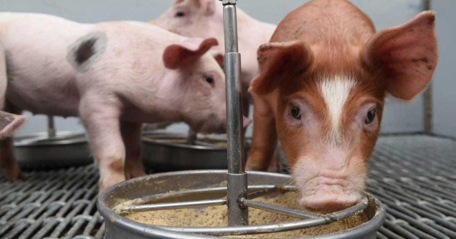 Un cerdo come concentrado en un tazón de aluminio
