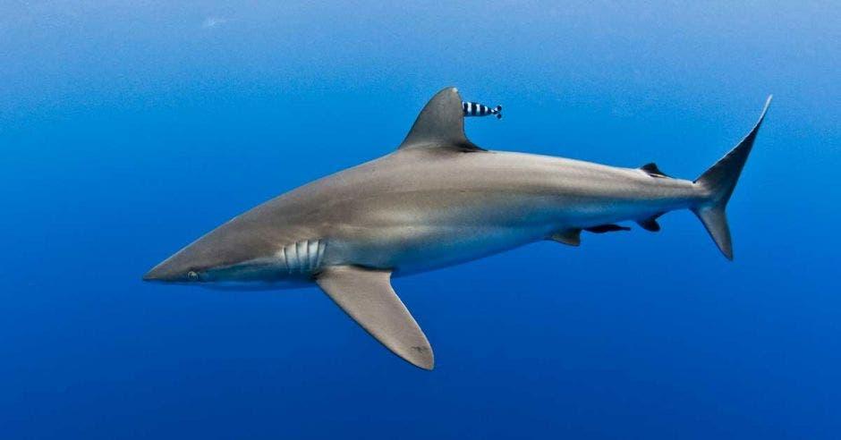Un tiburón surca los mares