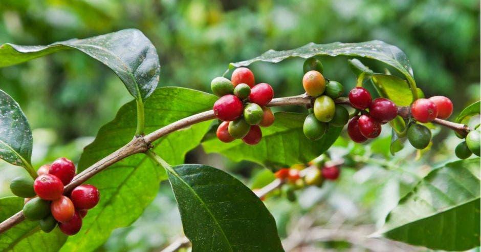 Una rama de café