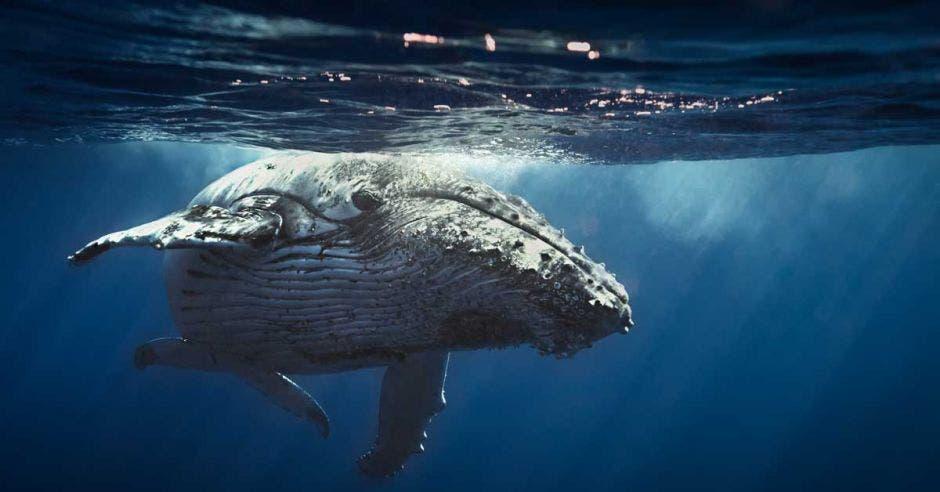 Una ballena jorobada maniobra bajo el agua