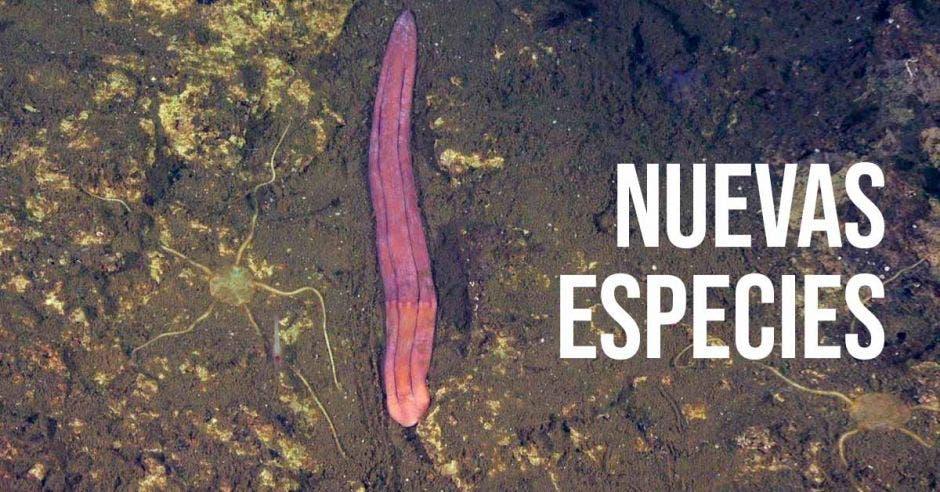 Un gusano marino color púrpura