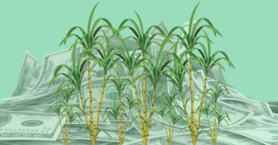 Una serie de cultivos de caña de azúcar