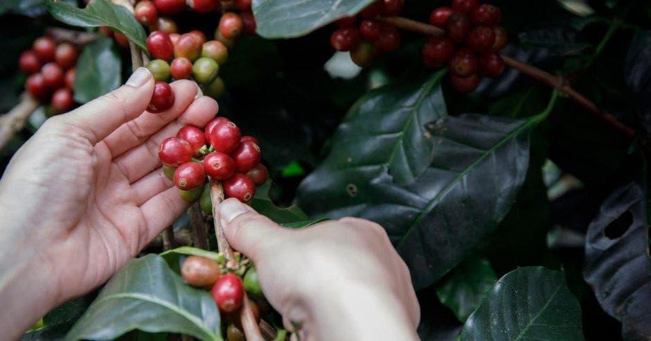Una mano recoge café