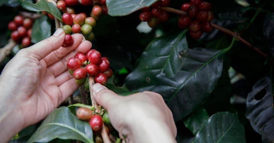 Recoleccíón de café