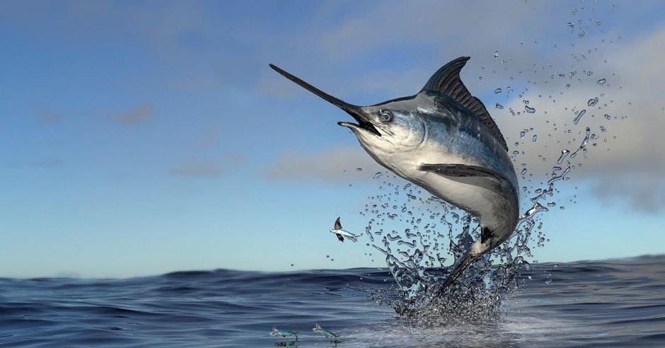 Un pez vela saltando fuera del agua