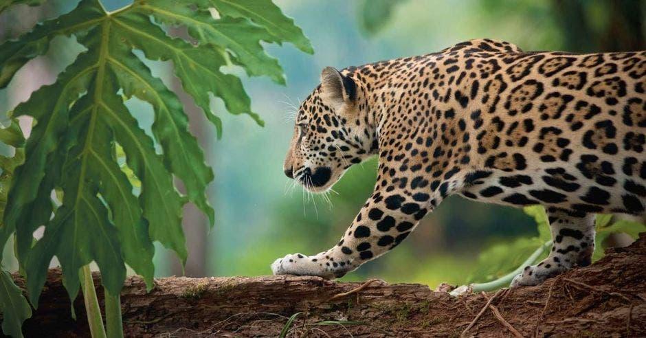 Un jaguar camina por un árbol