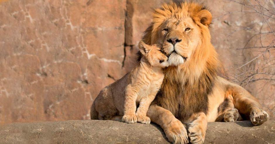 Un león y su cachorro