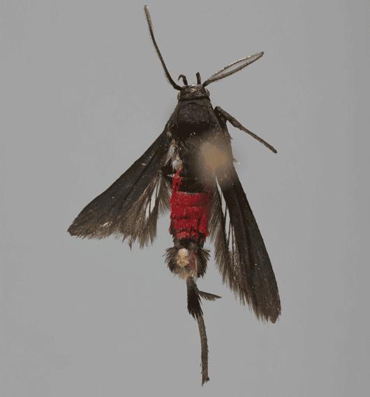 Mariposa de cuerpo rojo