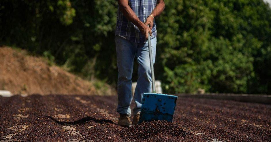Proceso de secado de café