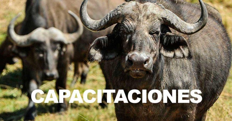 En la imagen dos búfalos