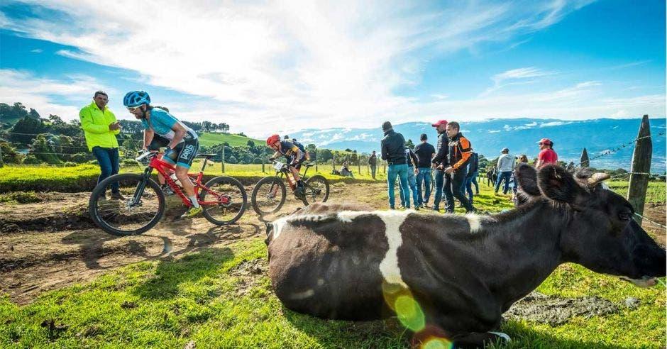 vacas en el camino y ciclistas pasando