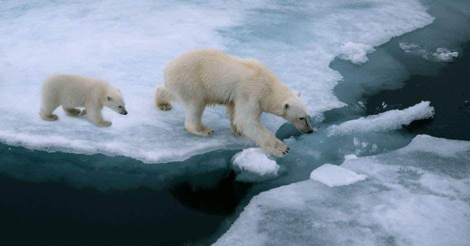 Oso polar y su retoño
