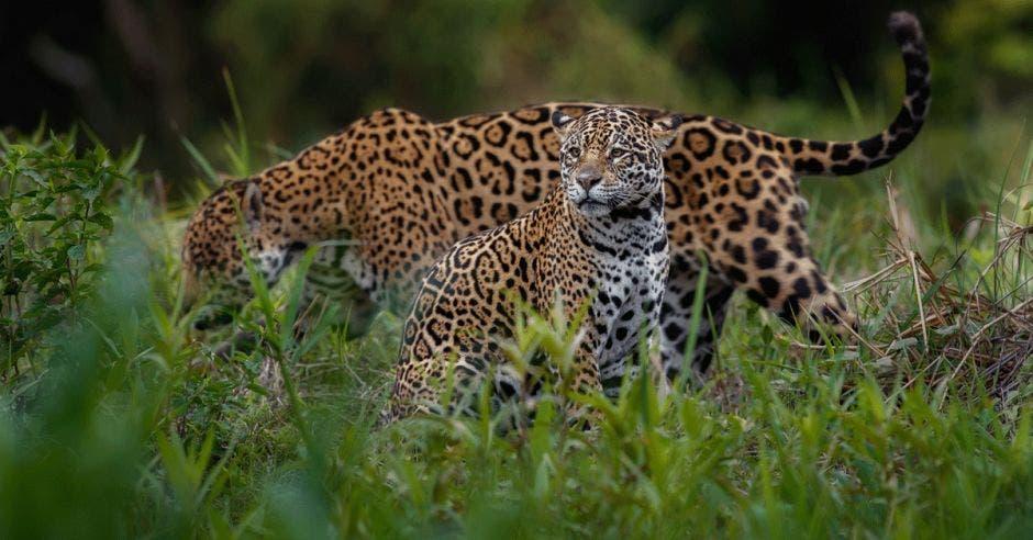 Dos jaguares recorren la selva