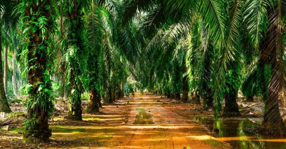 Plantaciones de palma africana de aceite