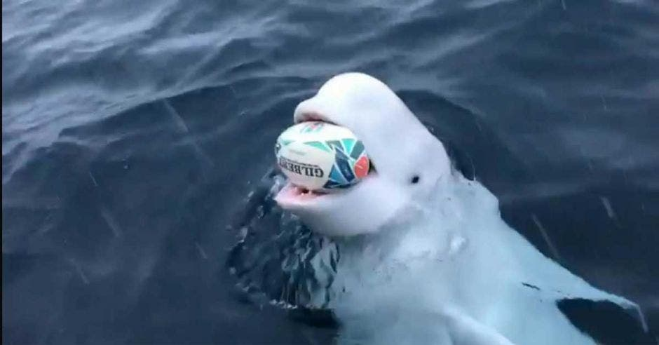 beluga blanca