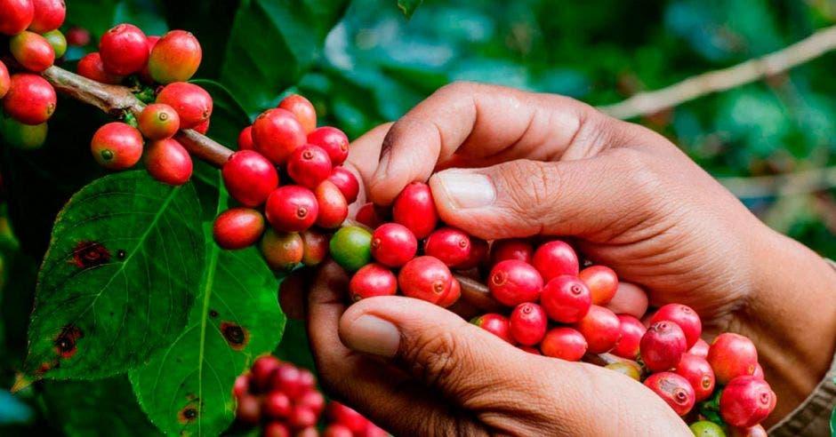 Una mata de café y una mano de un recolector