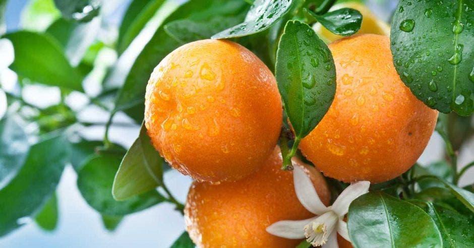 Un racimo de naranjas frescas