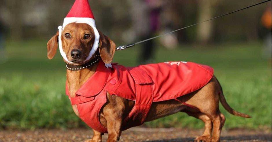 perro salchicha con traje de santa
