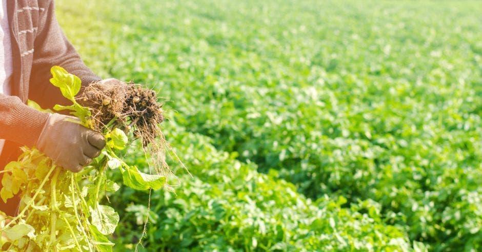 Un agricultor saca raíces de un huerto