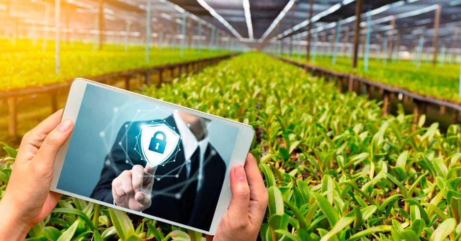 Plantación de un cultivo de fondo y en primer plano una persona sosteniendo una tablet en donde se ve una persona señalando un candado