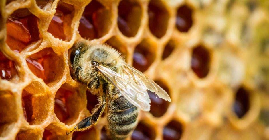 Una abeja dentro de un panal recolectando miel