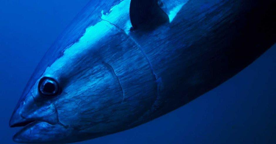 un atún nada en las profundidades marinas