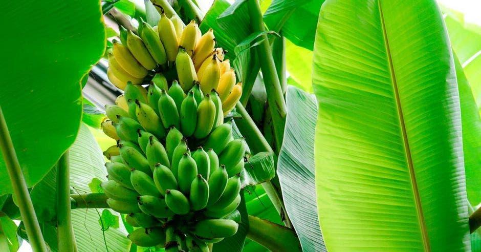Racimo de bananos  entre hojas de palma