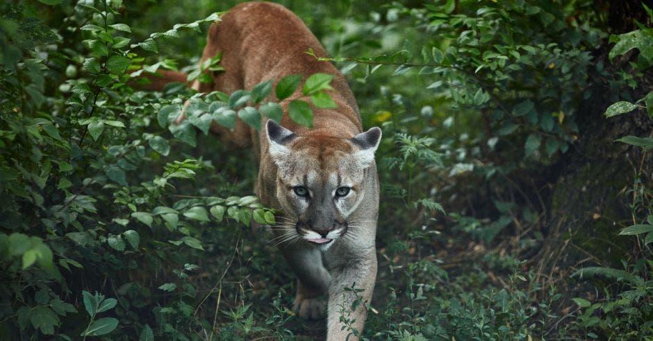 Un puma merodea por una zona boscosa