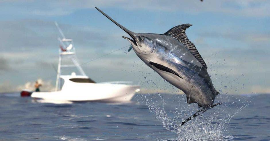 Un pez vela salta del agua