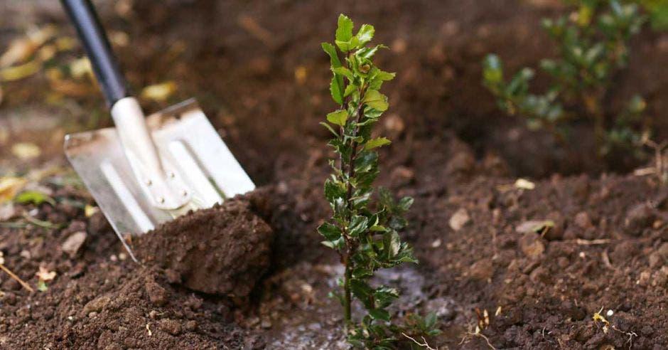 Una pala junto a un árbol recién plantado