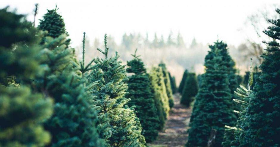 Árboles en filas en una granja de árboles de Navidad