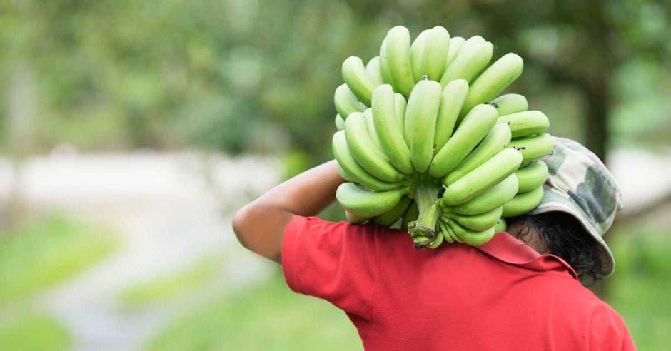 Un hombre carga un racimo de bananos