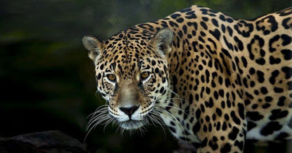 un jaguar de gran tamaño mira desafiante a su fotógrafo