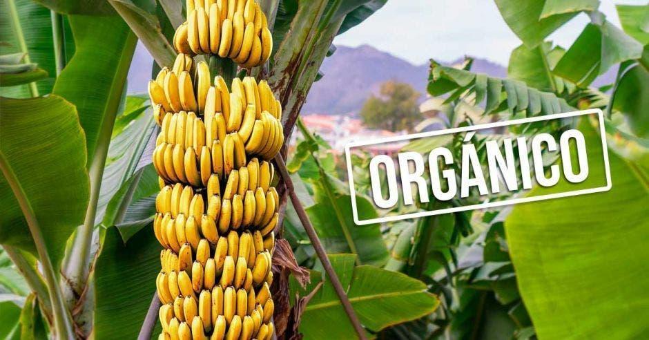 racimo de bananos con la palabra orgánico
