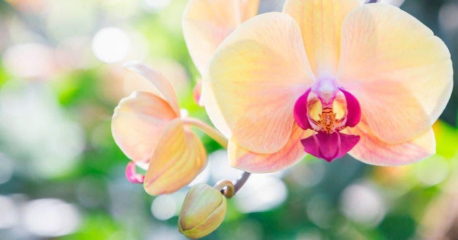 Una orquídea de color piel