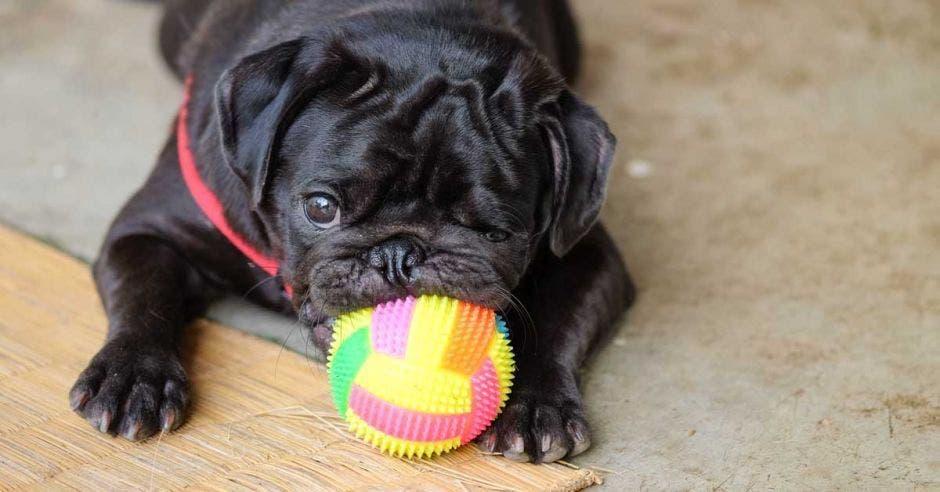 Un perro negro sostiene un balón de goma