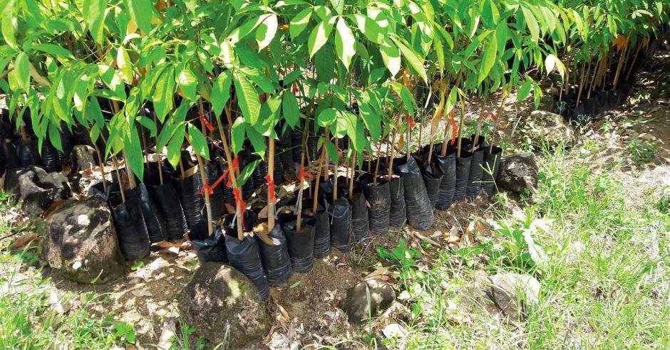 La firma vende árboles injertados para reforestar y con eso,  incluyen un  paquete técnico y capacitaciones en el manejo y cosecha de las plantaciones. Cortesía Hevea CR/La República.