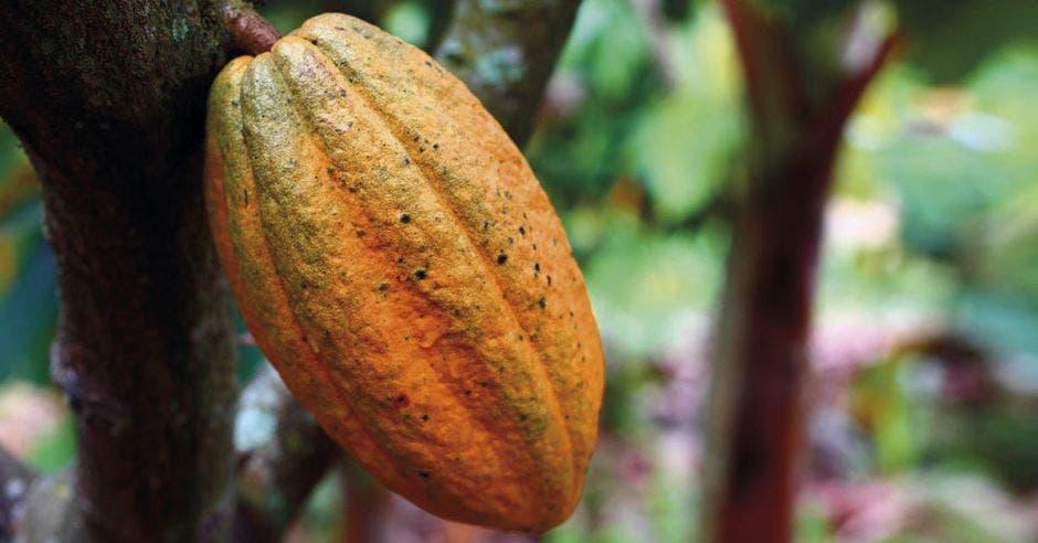 un cacao color anaranjado