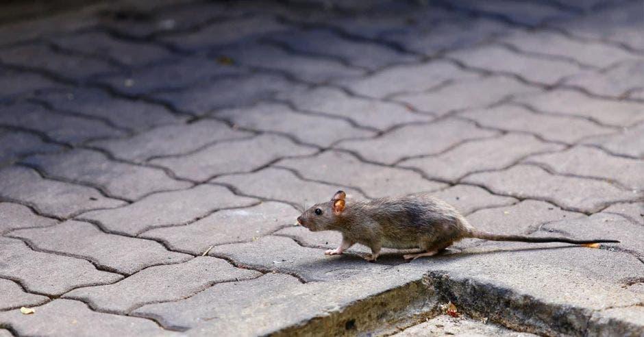 Un roedor recorre las calles