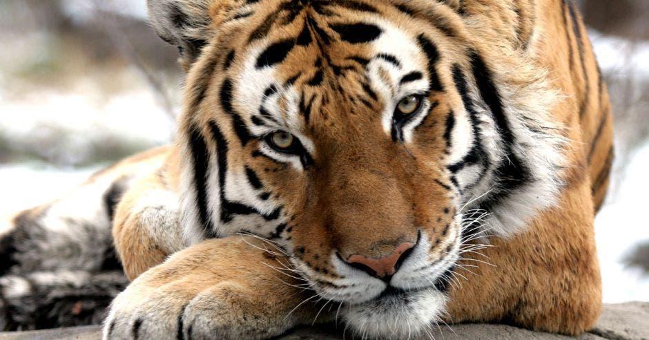 un tigre reposa en su jaula