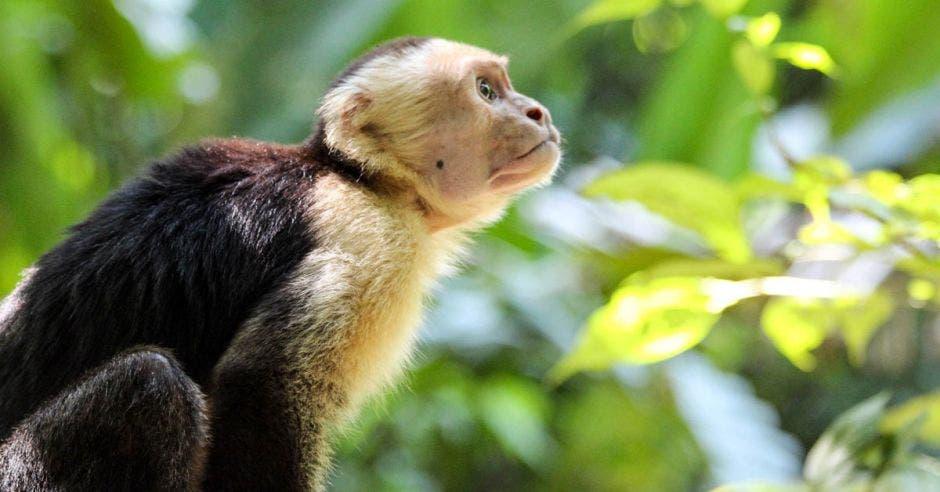 Un mono cariblanca posa en un árbol