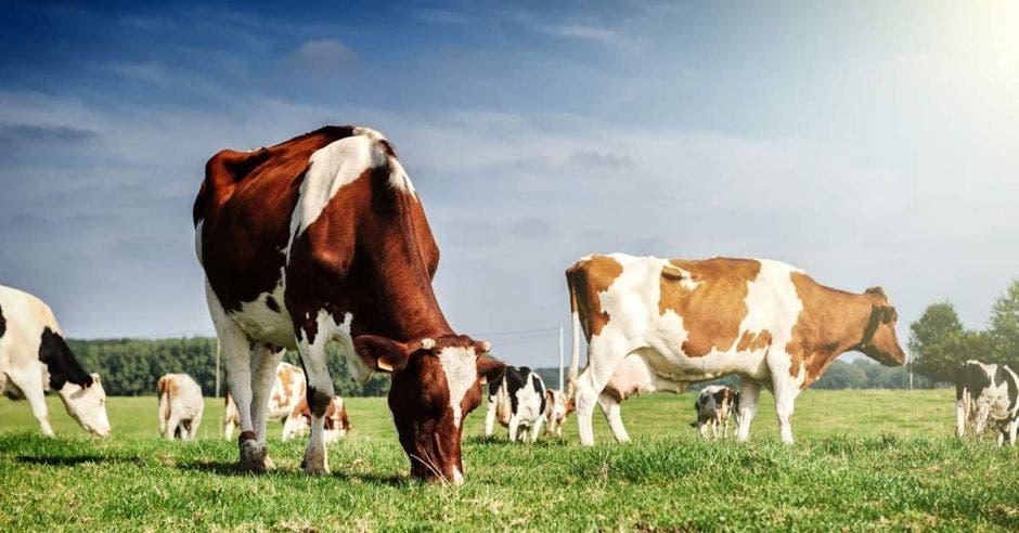 Varias vacas pastando