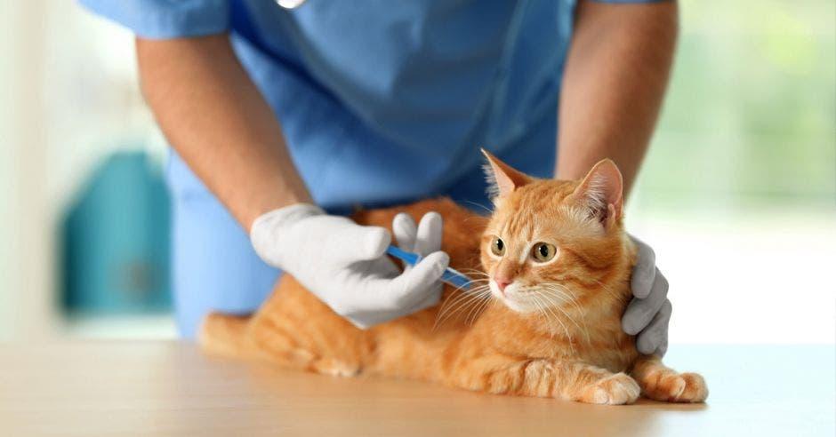 Un veterinario inyecta una vacuna a un gato