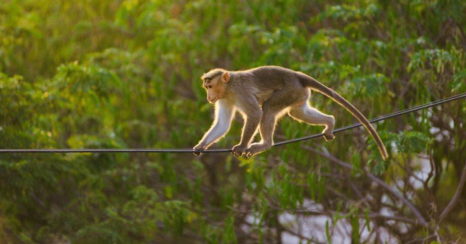 Un mono camina sobre un cable de tendido eléctrico